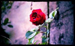 photo de cricri rose rouge